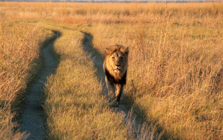 Lion in Botswana during Mobile Camping Safari