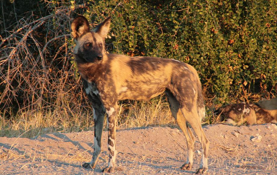 Wild dog in Botswana during Mobile Safari