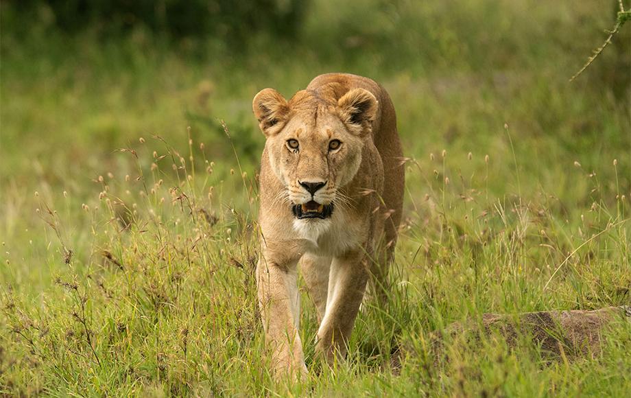Lion at Luxury Lemala Nanyukie Lodge in Tanzania