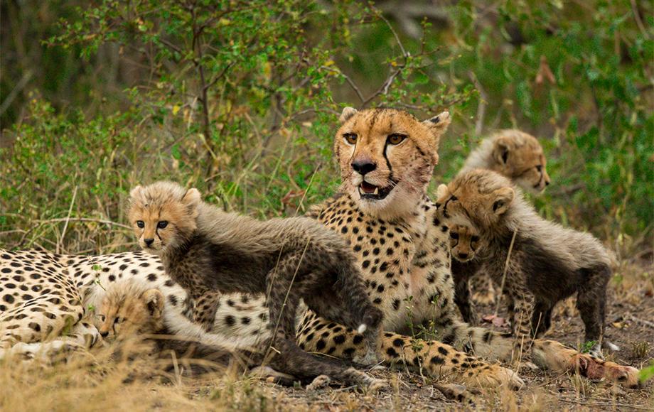 Cheetah and cubs in Sabi Sabi Game Reserve in South Africa