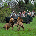 Lions fighting during a game drive at Sabi Sand in South Africa