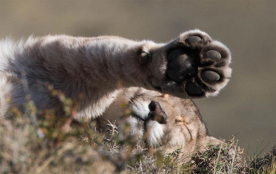 Puma playing