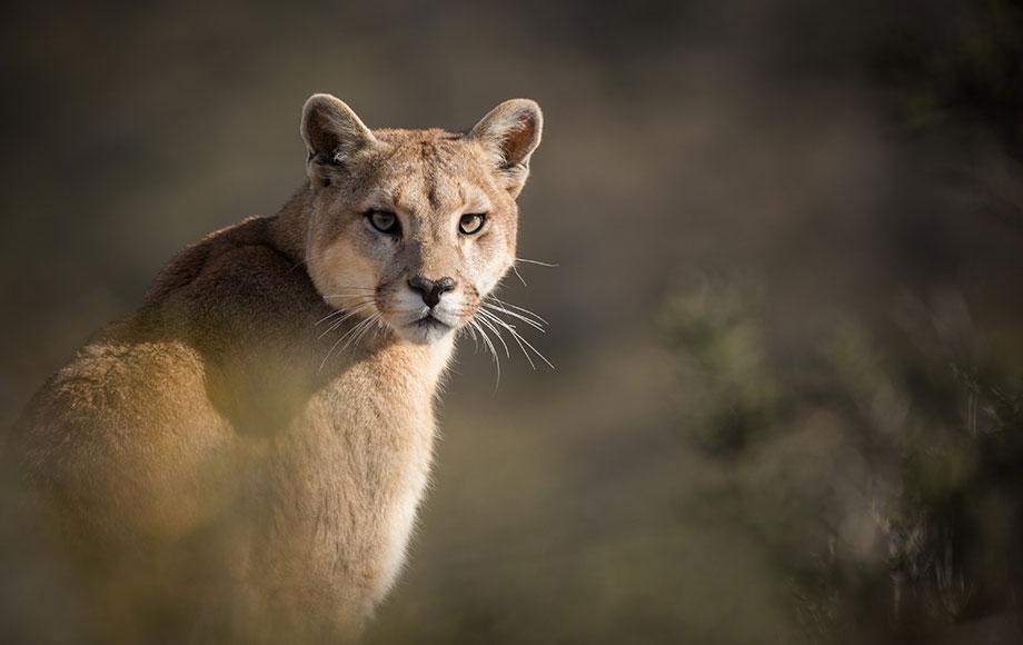 Puma sighting in Patagonia