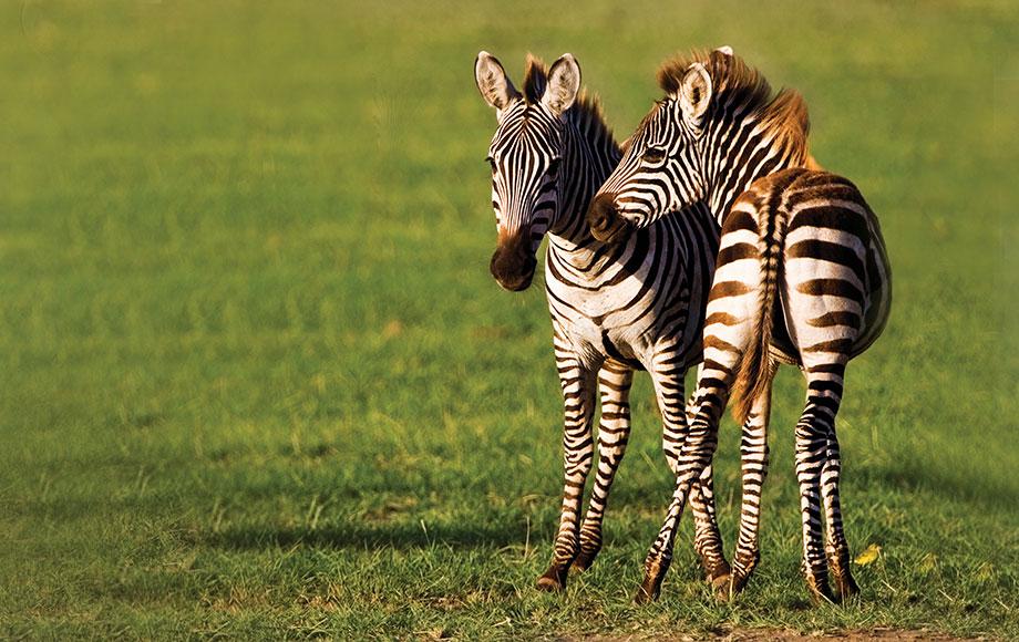 Zebra calves in the Serengeti