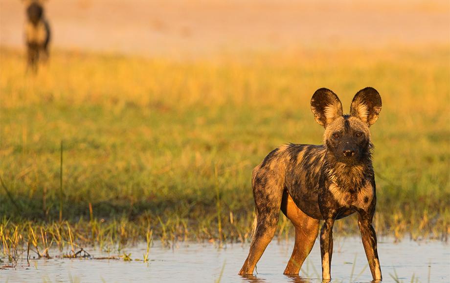 Endangered wild dog in Zimbabwe Painted Dog Conservation