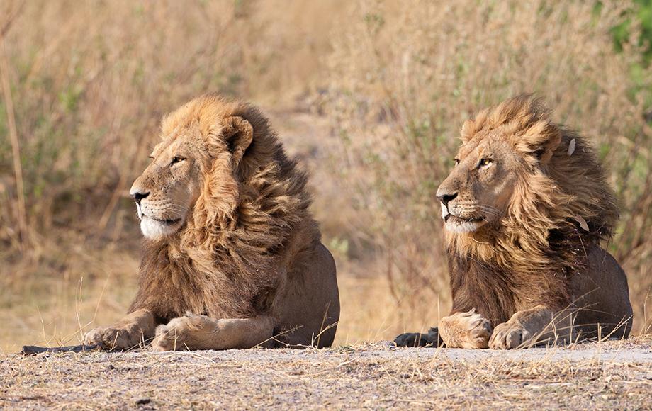 Two male lions in botswana