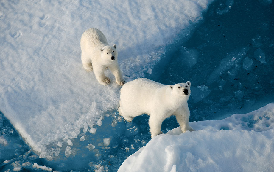 Polar Bears at the North Pole aboard the 50 Years of Victory