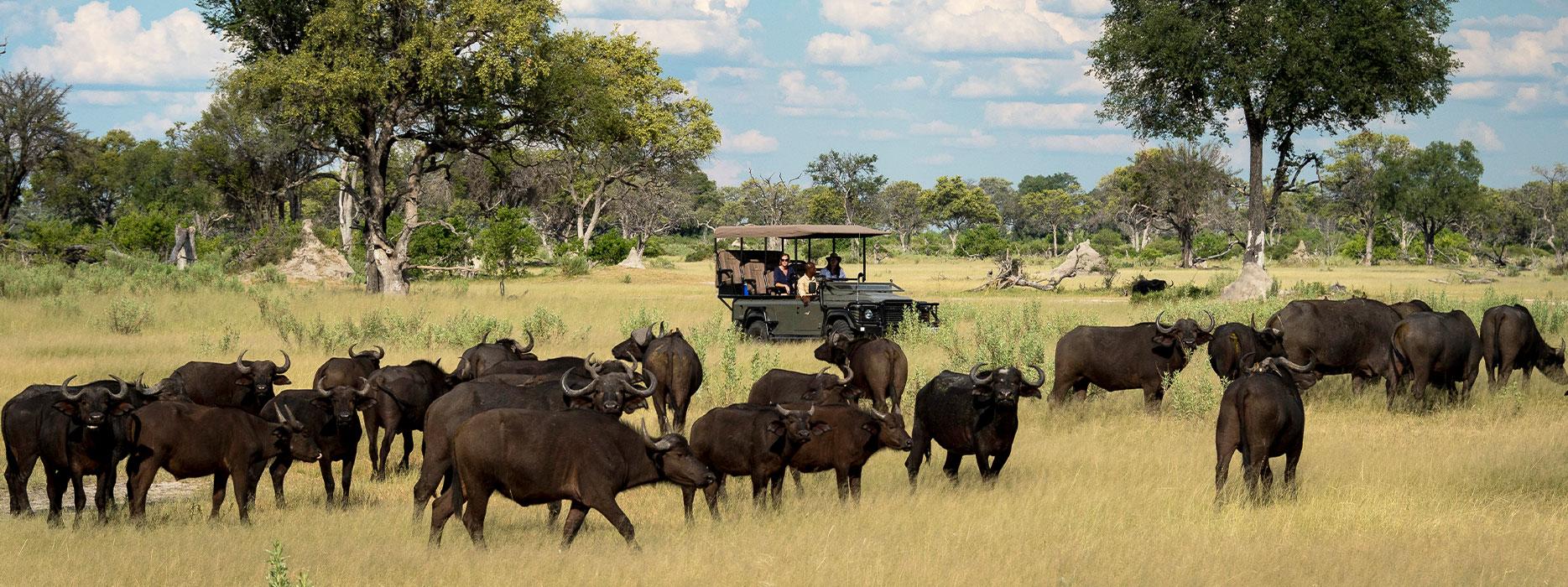 Buffalo encounter during safari