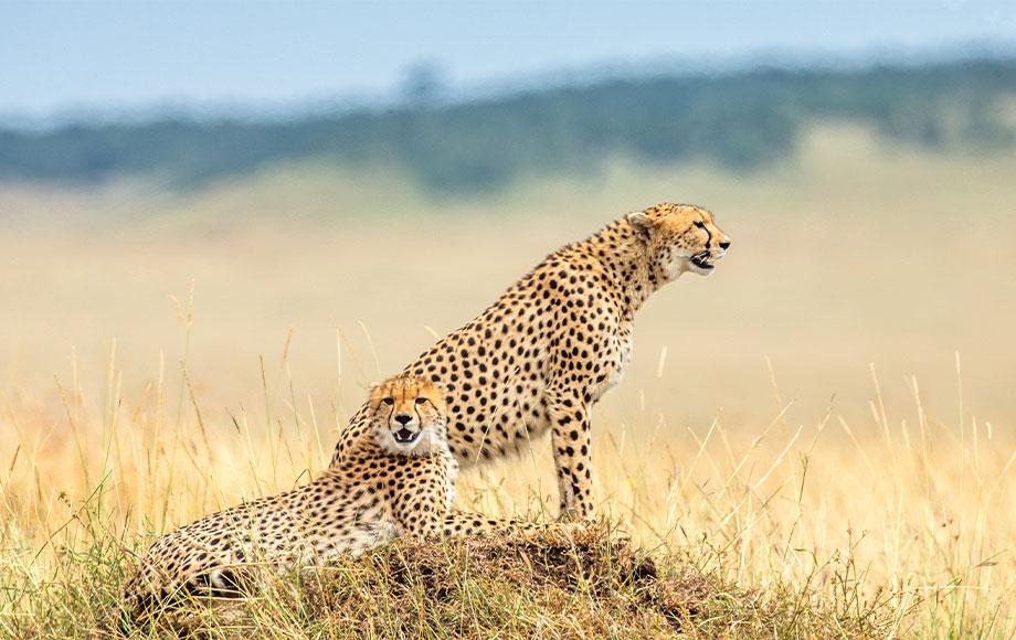 Male coalition of cheetah in the Serengeti