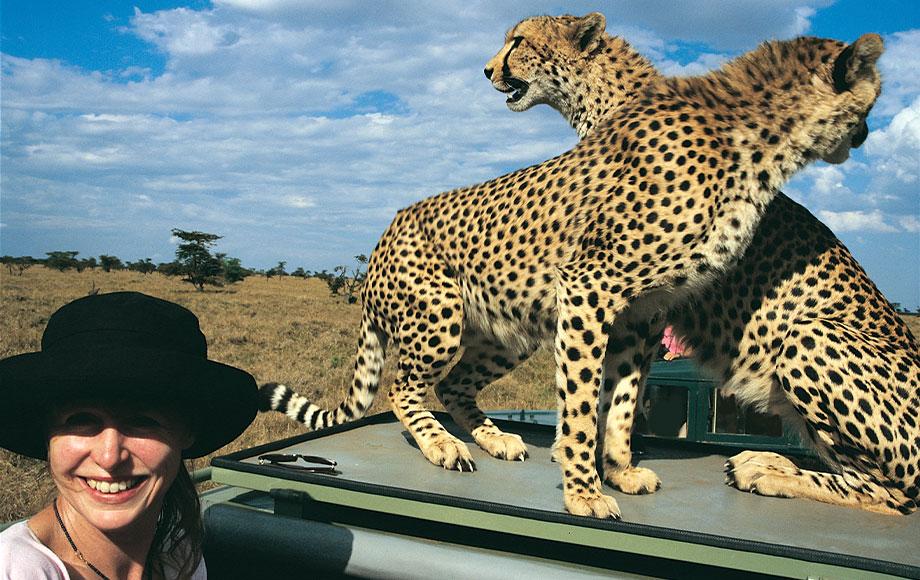 Cheetahs on safari vehicle in Kenya's Masai Mara