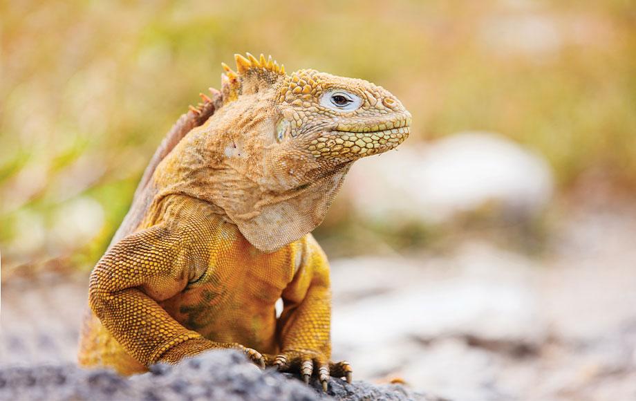 Marine Iguana's on the Galapagos Islands