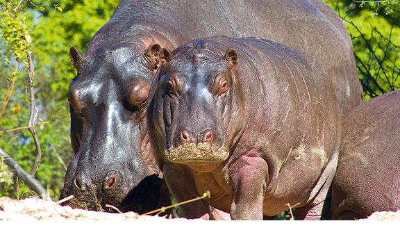 Mum and baby Hippo at the Zambezi River in Zambia