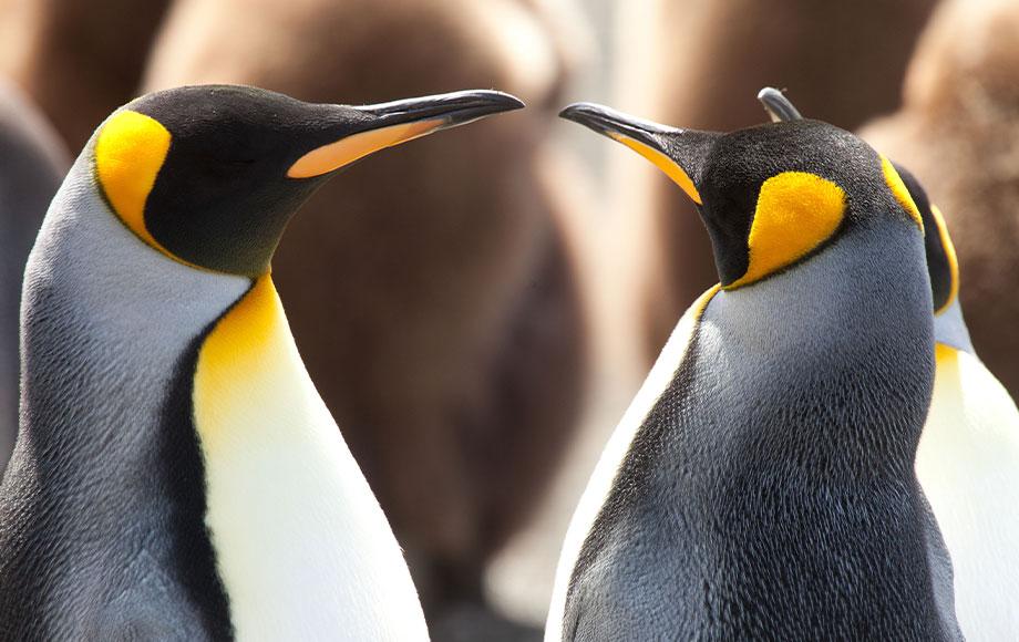 King Penguins in Sub Antarctic Islands