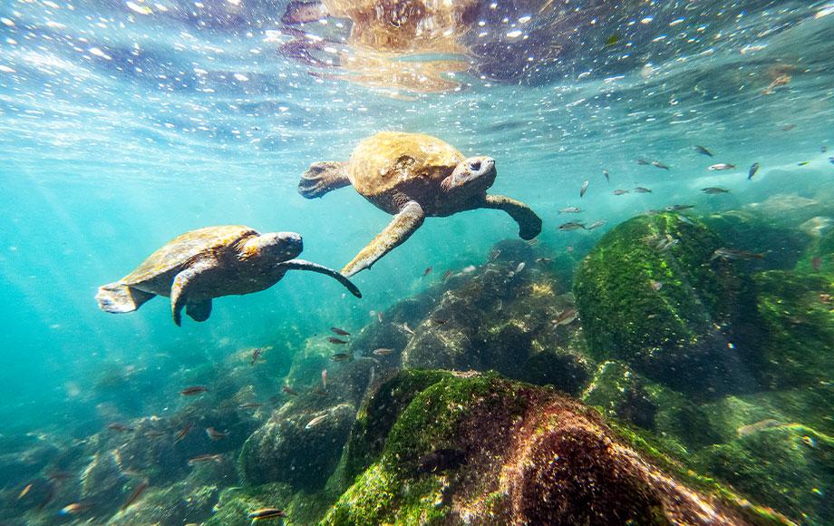 Marine Turtles in the Galapagos