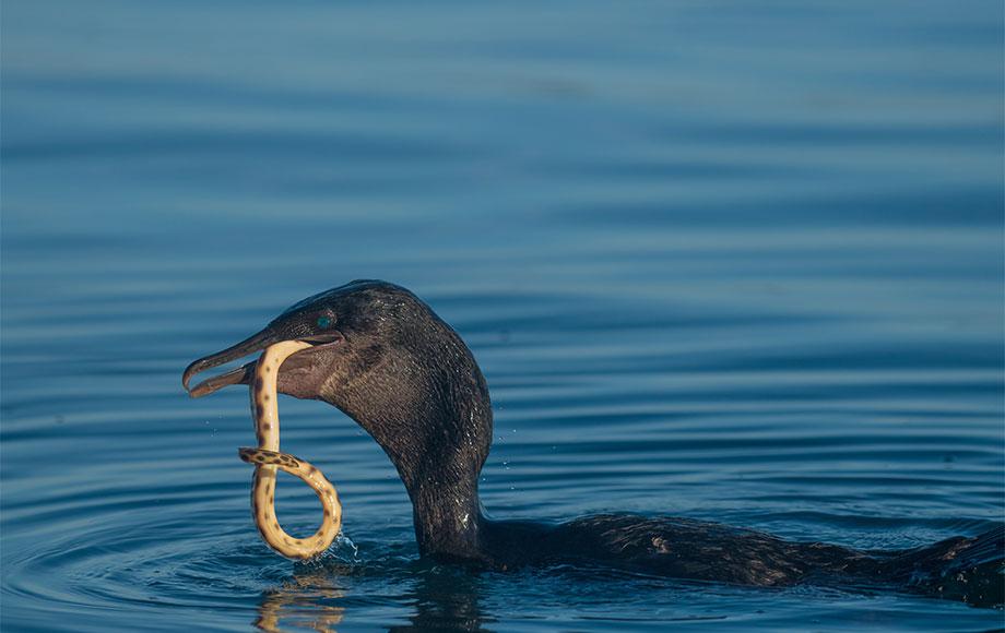 Flightless Cormorant in the Galapagos Islands