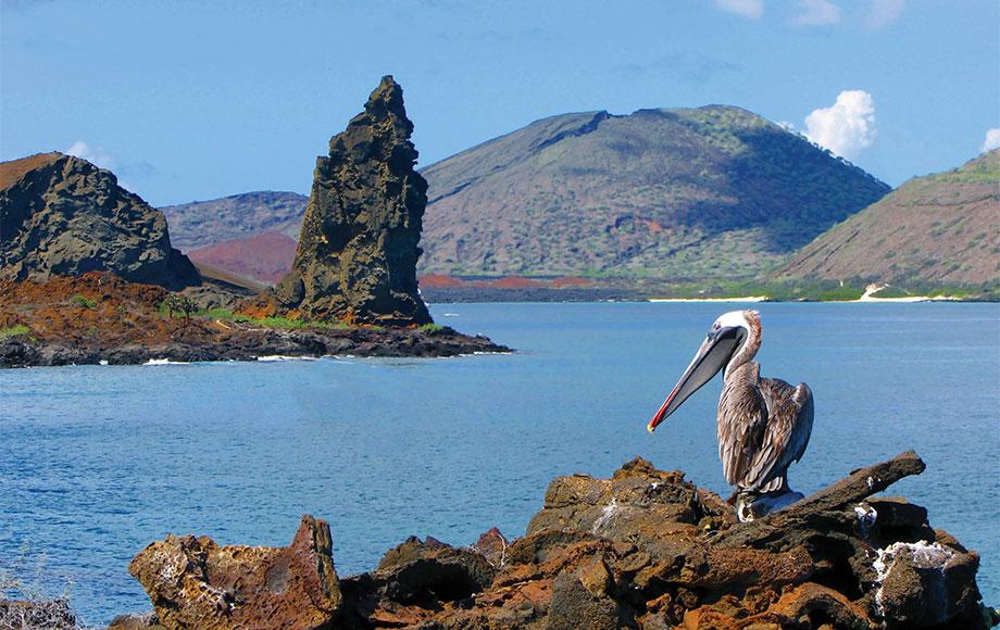 Big Pelican in the Galapagos Islands