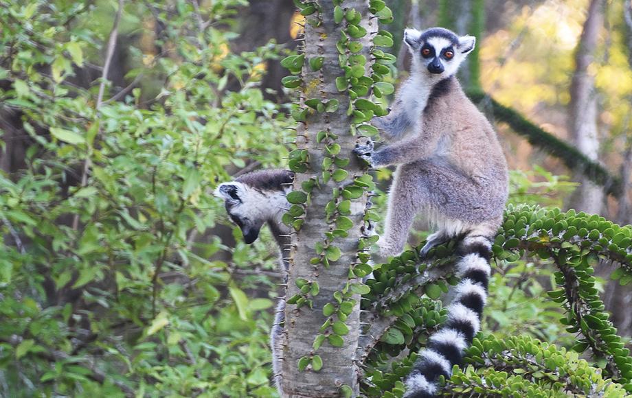 Ring Tailed Lemurs in Madagascar