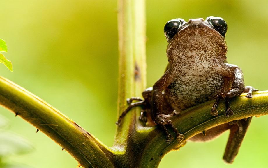 Frog at Mashpi Lodge in Ecuador