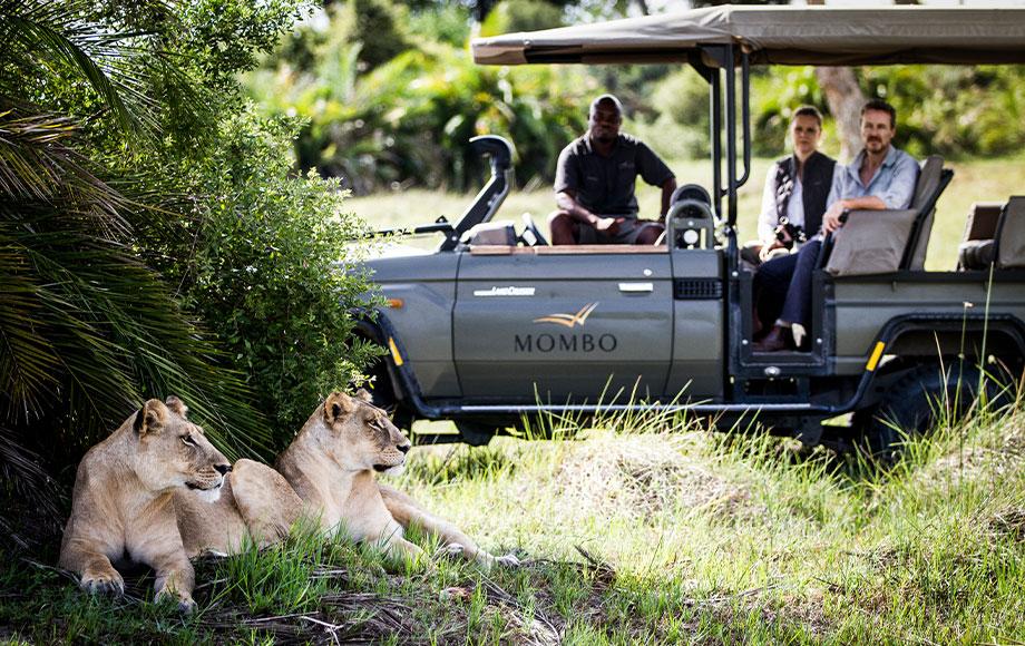 Lion sighting at Mombo Camp