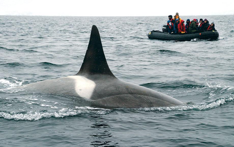 Orca Viewing in Antarctica