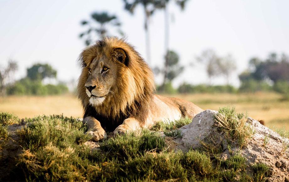Lion at Xigera Safari Lodge