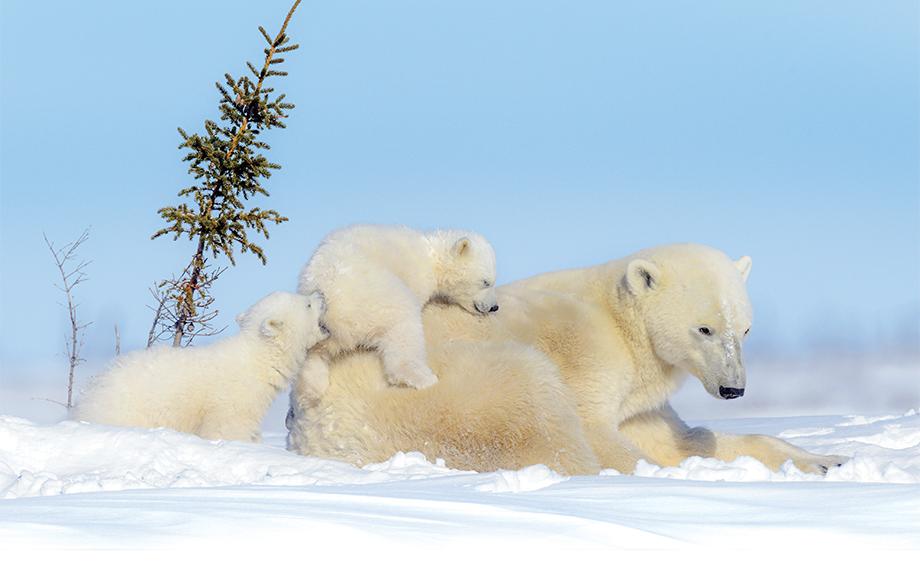 Polar Bear Cubs in Canada
