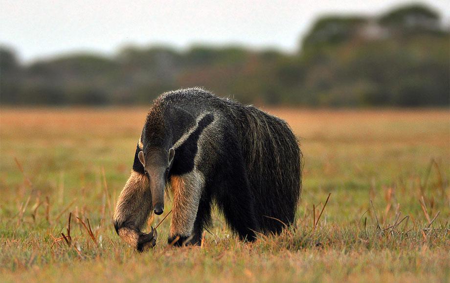 Giant Ant Eater at Araras Pantanal EcoLodge