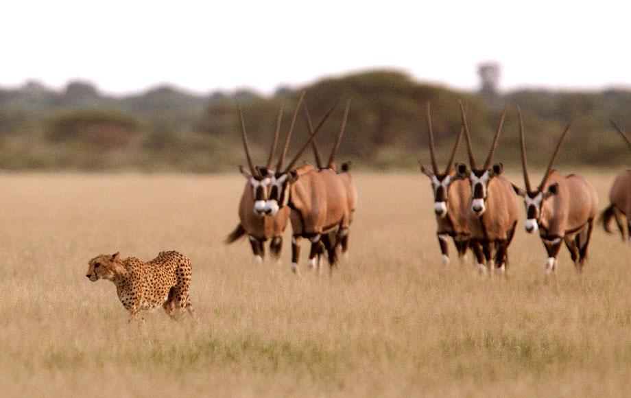 Cheetah and Oryx in Botswana