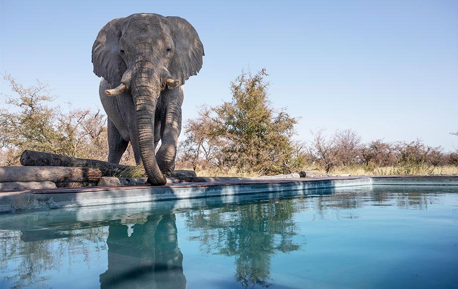 Camp Kalahari elephant by the pool