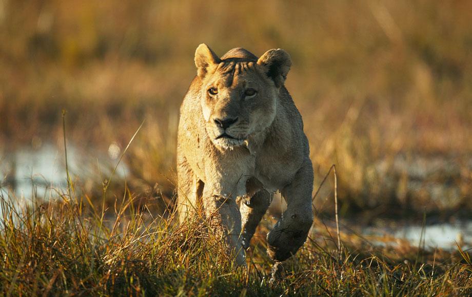 Lion at Duba Plains Camp