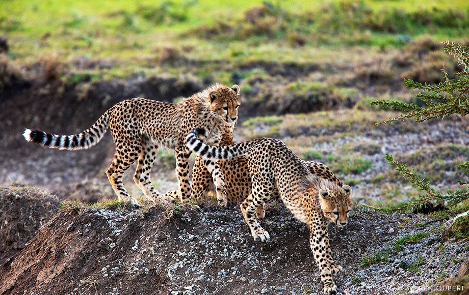Family of cheetahs in Kenya
