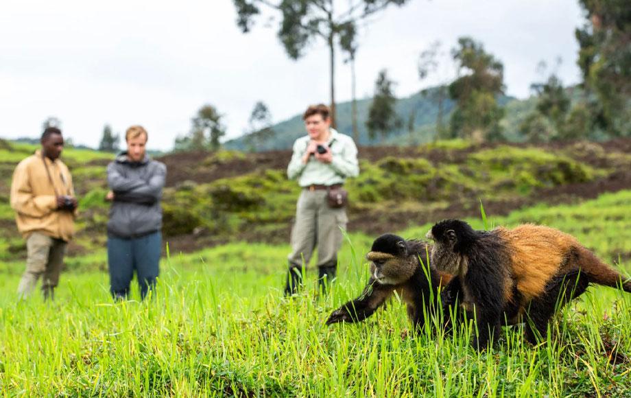 Singita Kwitonda Golden Monkeys