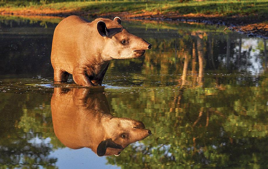 Tapir in the Amazon