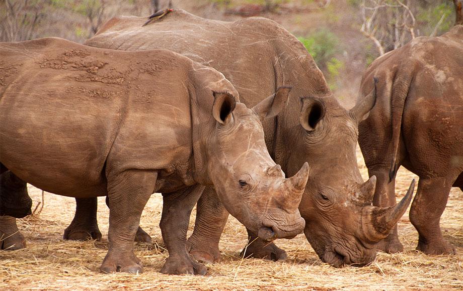 White Rhino in Zambia