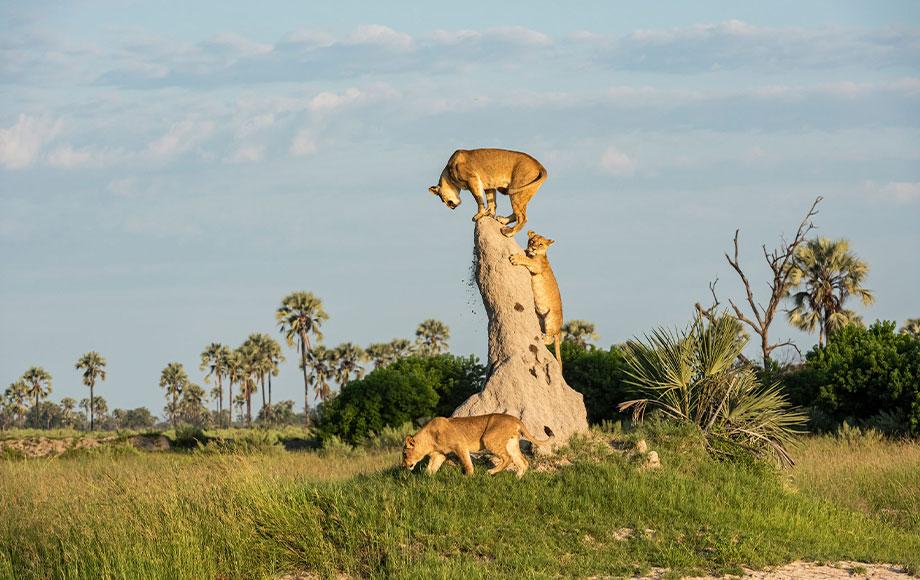 Lions climbing on a tree in Bostwana