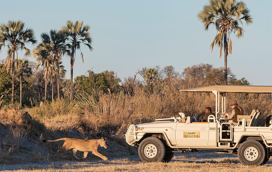 Lion sighting during safari in Botswana