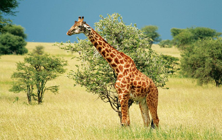 A Masai Giraffe