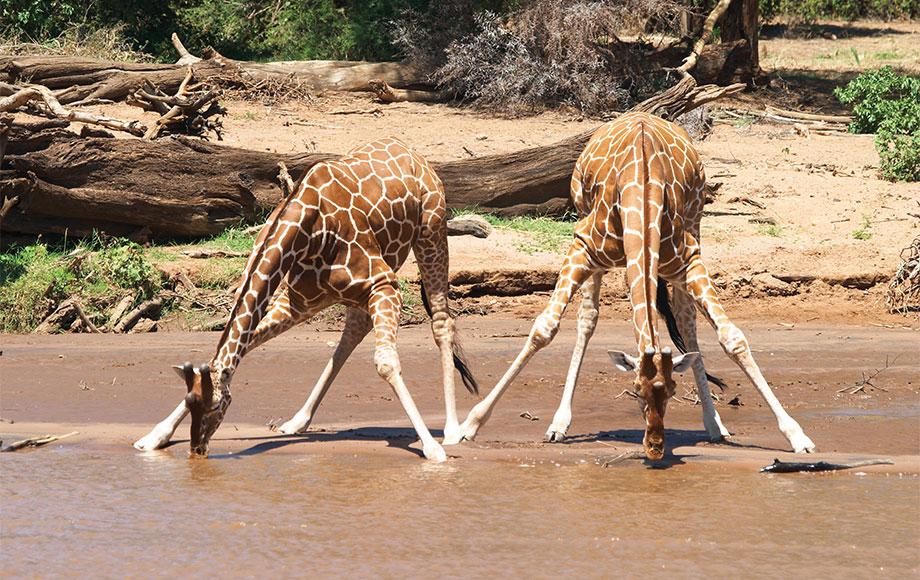 A Reticulated Giraffe