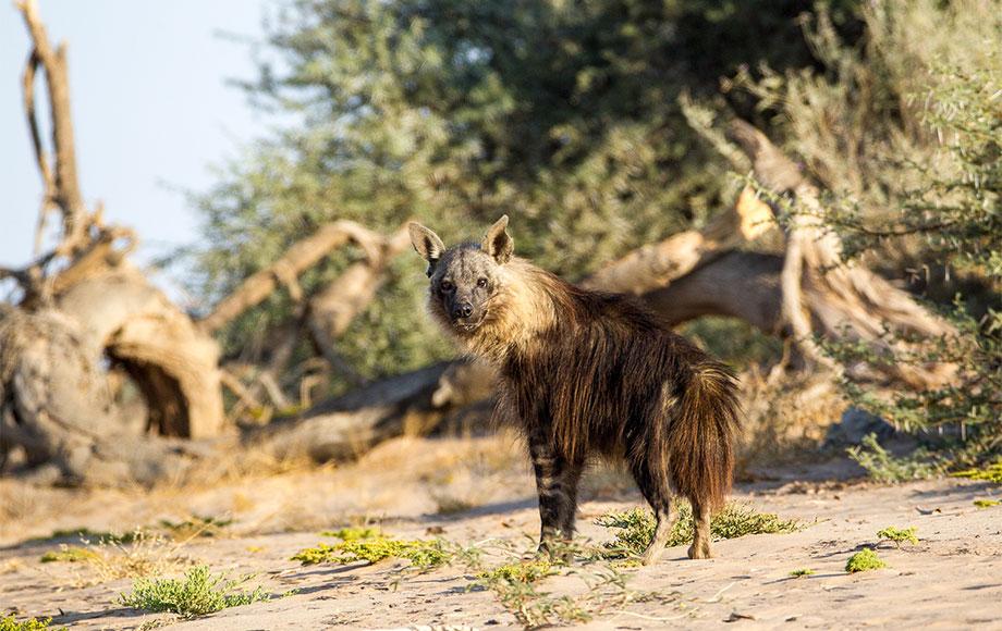 Brown Hyena in Namibia