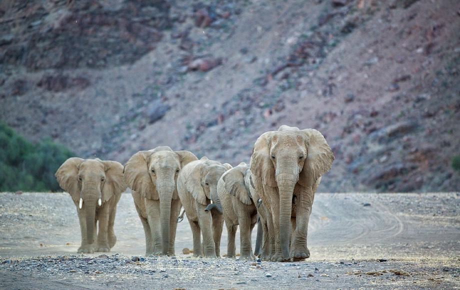 Herd of elephants in Namibia