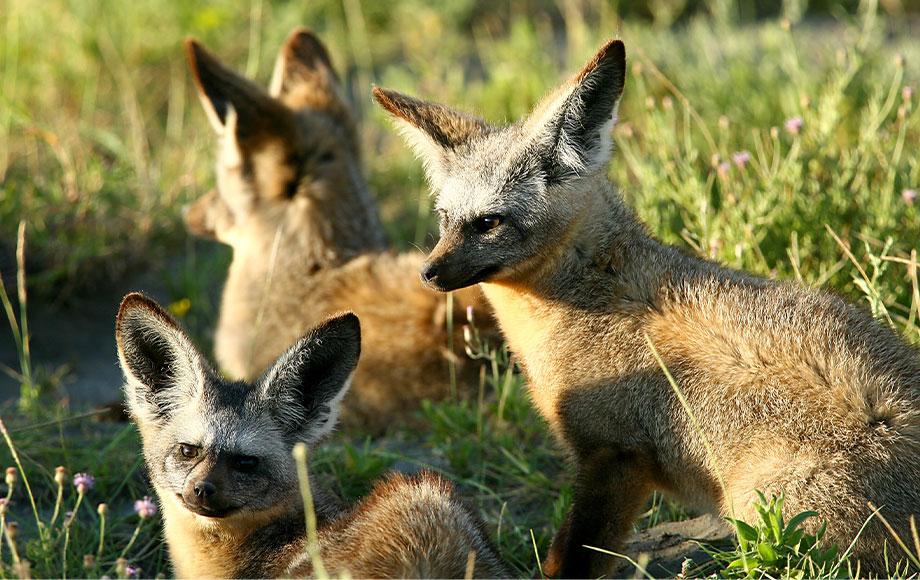 Bat Eared Foxes in Tanzania
