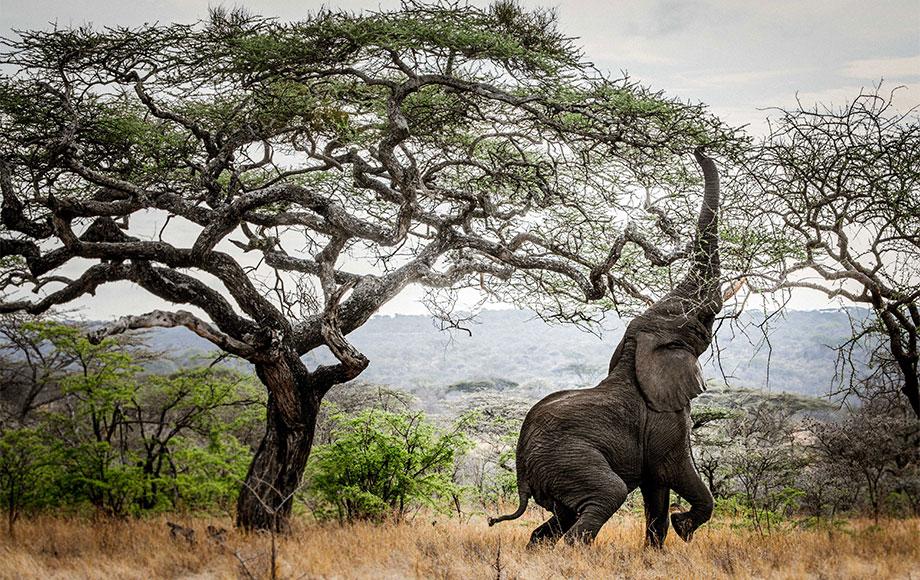Elephant eating from trea