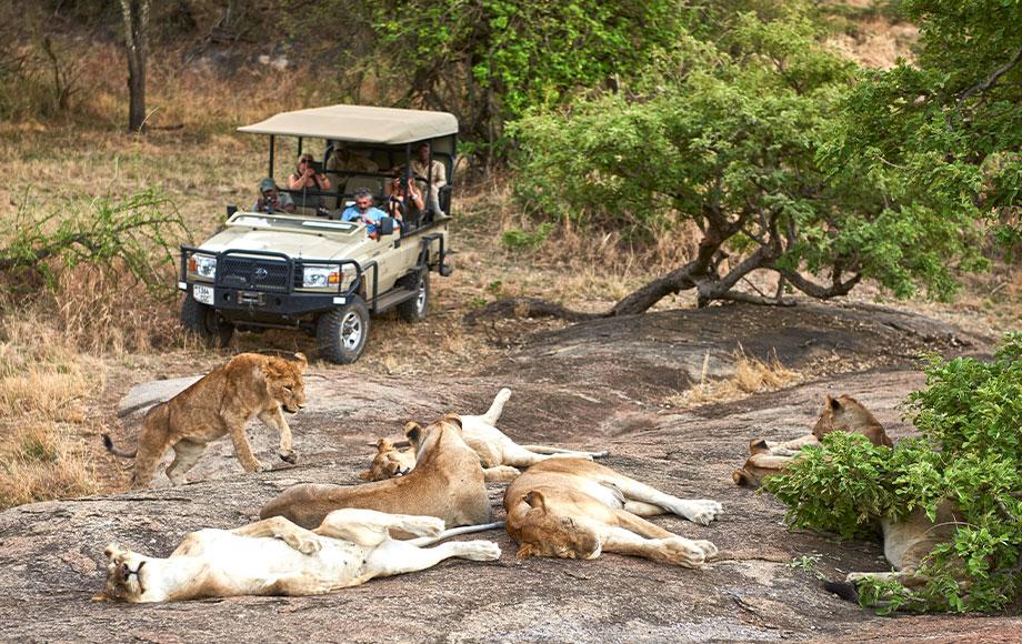 Pride of Lion sighting at Mwiba Lodge
