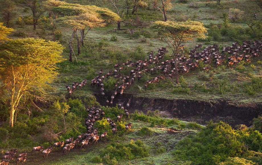 Wildbeest Migration in the Serengeti