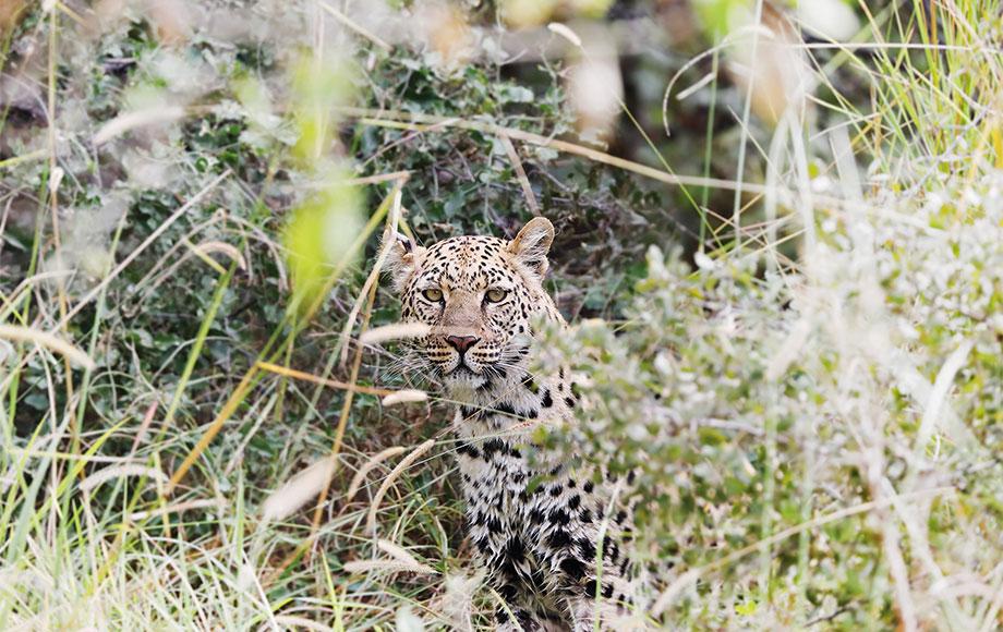 Leopard sighting at Mapula Lodge
