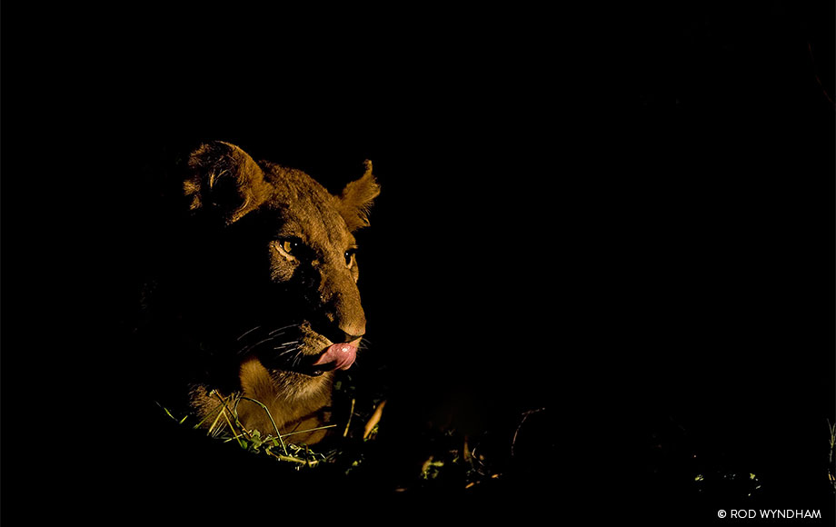 Lioness sighting during a night drive