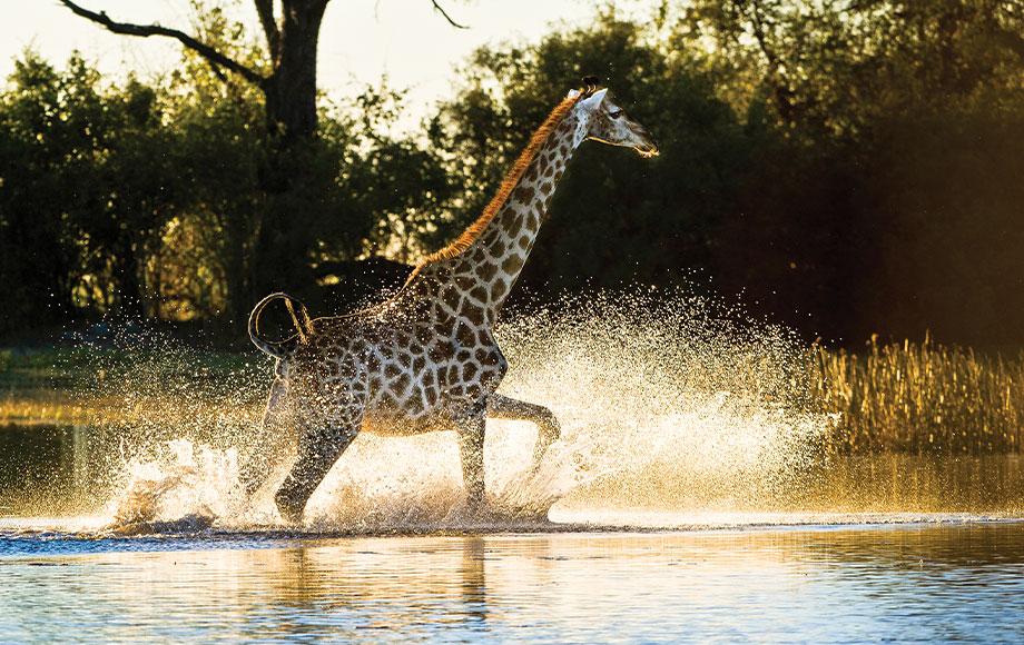 Giraffe running through water