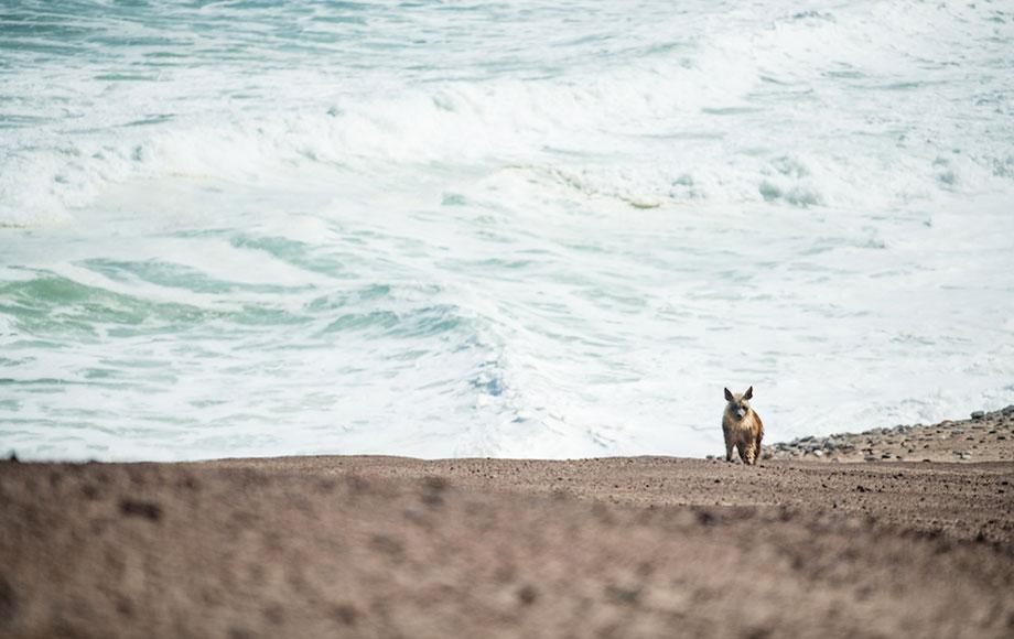 Borwn Hyena on the Skeleton Coast