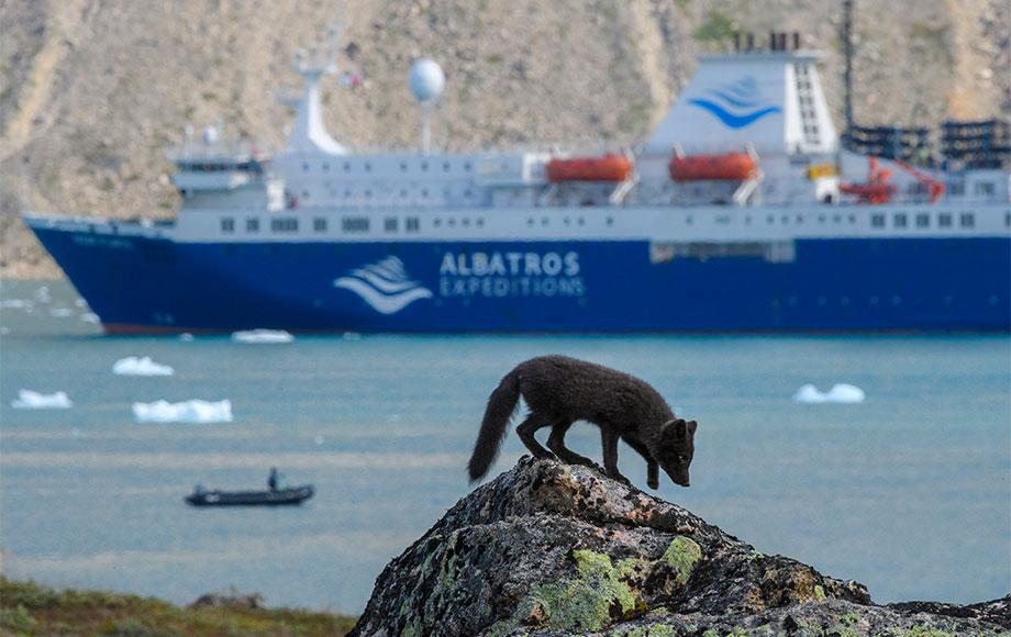 Arctic Fox in Greenland