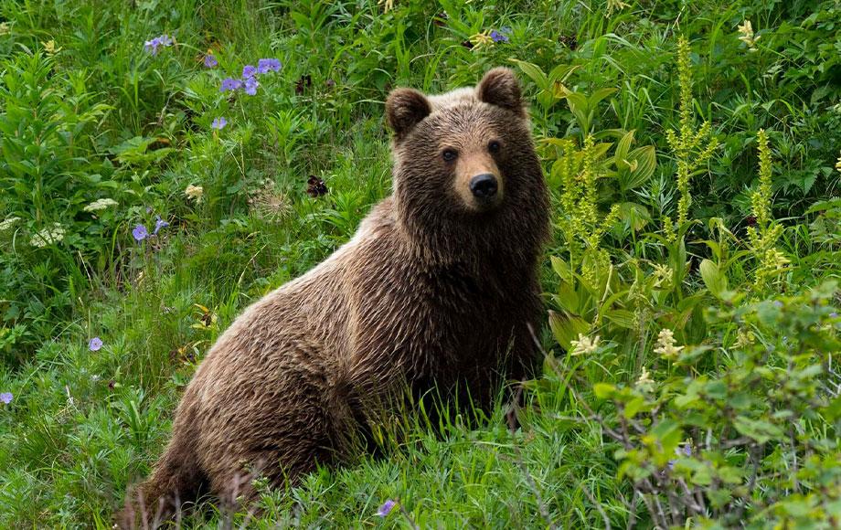 Bear viewing at Hokkaido Island